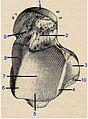 Talus, upper face Testut1.ro.jpg