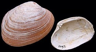 Grooved carpet shell - Pleistocene fossil shell from the North Sea.