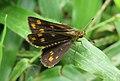 Taractrocera ceramas – Tawny-spotted Grass Dart - Tamil Grass Dart. 12.jpg