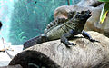 Taronga Zoo, Sydney (3366666996).jpg