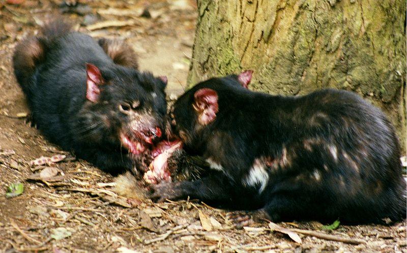 File:Tasmanian Devils.jpg