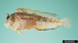 Tasseled blenny Parablennius thysanius.jpg