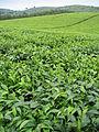 Tea plantation in Bushenyi District.jpg