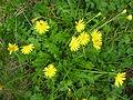 Teraxacum alpinum Dolomites.jpg
