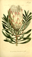 The Botanical Magazine, Plate 346 (Volume 10, 1796).png