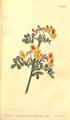 The Botanical Magazine, Plate 445 (Volume 13, 1799).png