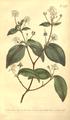 The Botanical Magazine, Plate 473 (Volume 14, 1800).png