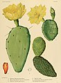 The Cactaceae (Plate XXII) (6025952755).jpg