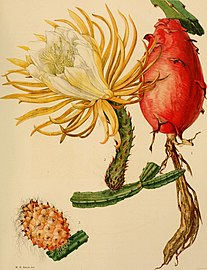 The Cactaceae - descriptions and illustrations of plants of the cactus family (1919) (14760304146).jpg
