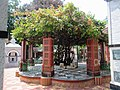 The Holy Madhavi vine tree at Uddharan Dutta Thakur's Sripat in Saptagram.jpg