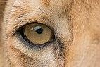 The Lion's Eye.jpg