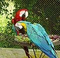 The Macaw Couple.jpg