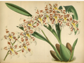 The Orchid Album-01-0107-0035.png