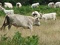 The Wild Cattle of Chillingham - geograph.org.uk - 223420.jpg