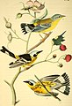 The birds of America - from drawings made in the United States and their territories (1840) (14563411599).jpg