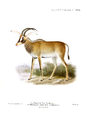 The book of antelopes (1894) Hippotragus equinus gambianus.png