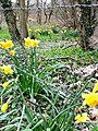 The daffs are out - geograph.org.uk - 722213.jpg
