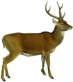 The deer of all lands (1898) Moluccan rusa white background.png