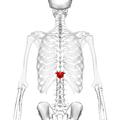 Thoracic vertebra 11 posterior2.png