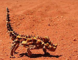 Thorn devil (Moloch horridus)