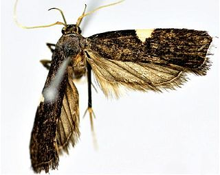 <i>Thubana dialeukos</i> species of insect