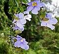 Thunbergia laurifolia (Blue Trumpet wine) W IMG 1973.jpg