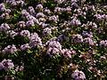 Thymus ×citriodorus Lemon Thyme レモンタイム5 026711.JPG