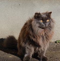 Cat Breeds Smooth Fur