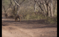 Tiger in Ranthambore 31.png