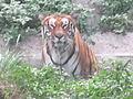 Tiger of Rajiv Gandhi Snake Park entering its.jpg
