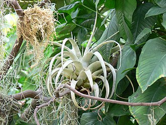Bromeliaceae - An epiphytic bromeliad