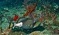 Titan Triggerfish (Balistoides viridescens) (8499814377).jpg