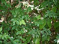 Toddalia asiatica (17144925790).jpg