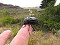 Toktokkie beetle Tenebrionidae IMG 7520.jpg