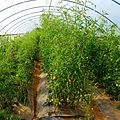 Tomatoes in Greenhouse (28270013041).jpg