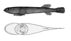 Tomicodon fasciatus.jpg
