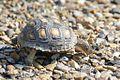 Tortoise (young)-Bentsen-Rio Grande SP-TX - 2015-05-09at09-44-262 (21608757805).jpg