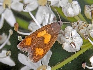 <i>Pammene aurana</i> species of insect