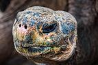 Tortuga gigante de San Cristóbal (Chelonoidis chathamensis), isla Santa Cruz, islas Galápagos, Ecuador, 2015-07-26, DD 14.JPG