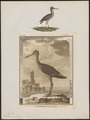 Totanus calidris - 1700-1880 - Print - Iconographia Zoologica - Special Collections University of Amsterdam - UBA01 IZ17400109.tif