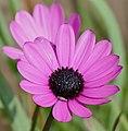Trailing Mauve Daisy (Dimorphotheca jucunda) (32533690505).jpg