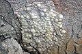 Travertine (crust lining joint in Vinton Member; Mohawk Dam roadcut, northwest of Nellie, Ohio, USA) 5 (33071356823).jpg