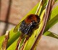 Tree Bee, Bombus hypnorum (32848792173).jpg