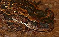 Tree Frog (Osteocephalus taurinus) (39115666604).jpg