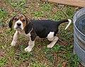 Treeing Walker Coonhound Pup.jpg