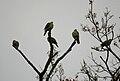 Treron sphenurus (Jayanti, Duars, West Bengal, India).jpg