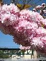 Tresnja Prunus serrulata Rijeka 120409.jpg