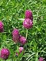 Trifolium alpestre Koniczyna dwukłosowa 2010-06-11 01.jpg