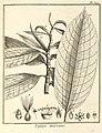 Triplaris americana Aublet 1775 pl 347.jpg