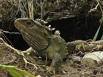English: Sphenodon punctatus. Tuatara in front...